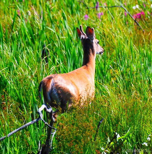 18. deer-kab