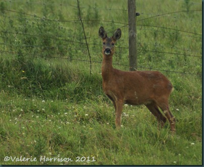 7-roe-deer