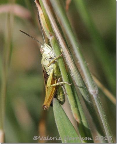 34-grasshopper