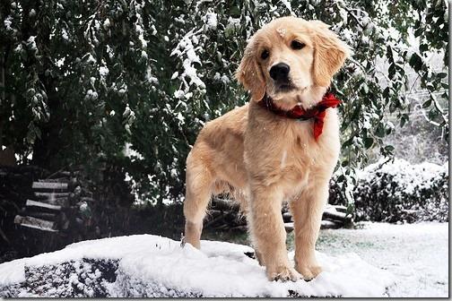 perro gorritos navidad (31)