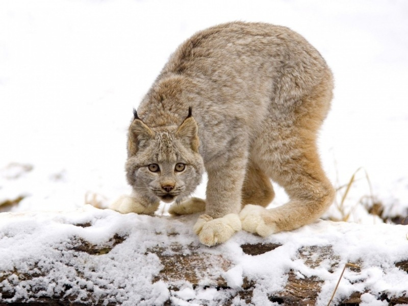 lince-canadiense
