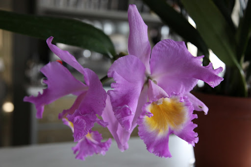The botanical name is Laeliocattleya Martha Stewart and is registered with the Royal Horticultural Society.  It's a cattleya hybrid.