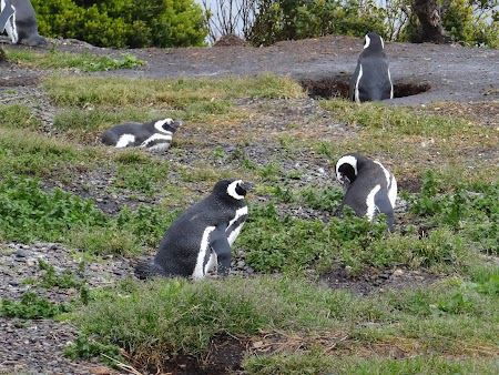 Tara de Foc: Pinguini magalanici in cuib