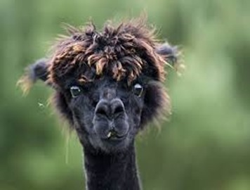 Amazing Pictures of Animals, photo, Nature exotic, funny, incredibel, Zoo, Vicugna pacos, Alpaca, Alex (31)