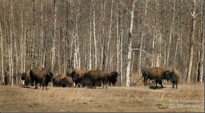 Plains Bison4