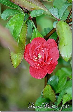 iwai nishiki flowering quince