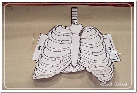Human Body The Respiratory System
