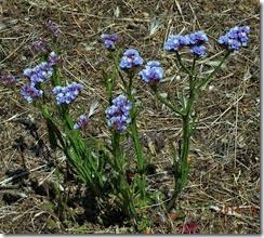 sea lavender type