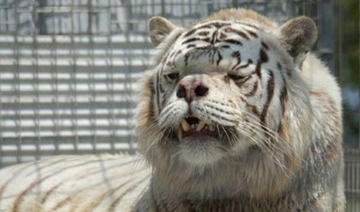 inbred-white-tiger-kenny
