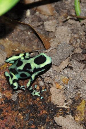 Fauna Costa Rica: Broscuta toxica, in Manuel Antonio