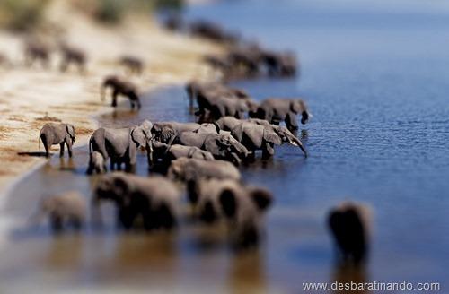 African elephant herd drinking {Loxodonta africana} Chobe NP, Botswana