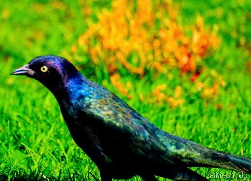10-25-13 Rainbow blackbird-kab