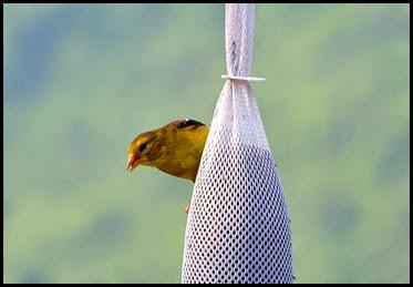 01b - birds - female goldfinch