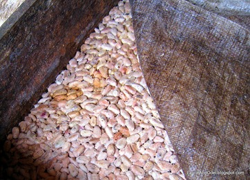 Cacao beans fermenting to remove the pulp