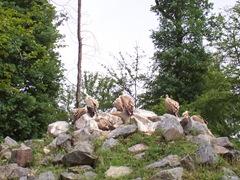 2007.05.26-018 vautours