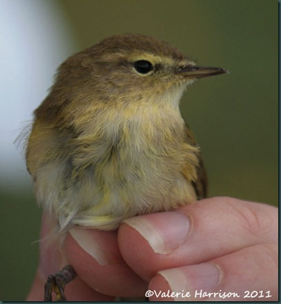 15 willow-warbler