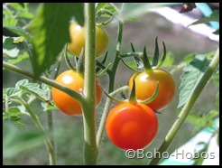 Organic tomatoes growing!