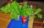 13-14 week summercrisp lettuce, inorganic nutes, pre-harvest FolgeCLASS