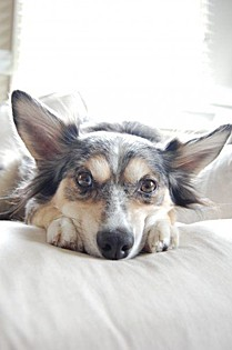 Hunter, an Australian Shepherd mix from Los Angeles.