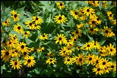black-eyed-susan4