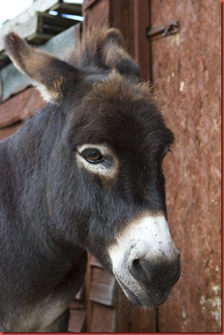 Jasper the donkey portrait
