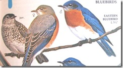 bluebirds from bird book