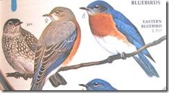 bluebirds from bird book