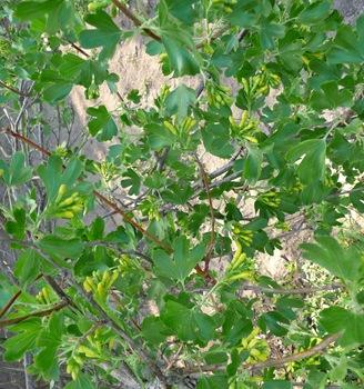 Ribes aureum, gullrips, Daniel Grankvist 2