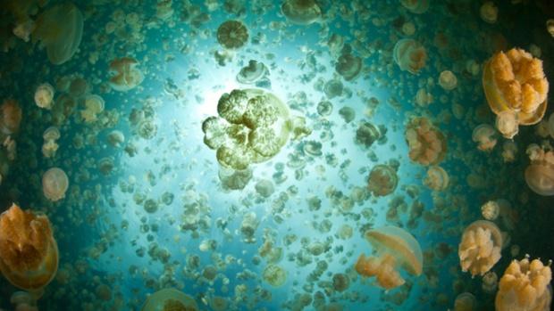 Millions of golden jellyfish (Mastigias papua etpisonii) swim inside an isolated marine lake in Palau. Photo: Ethan Daniels / Shutterstock
