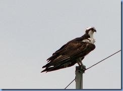 7791 Courtenay Parkway (State Road 3), Merritt Island Wildlife Refuge, Florida - Osprey