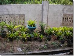 tanaman setelah dipecah menjadi banyak