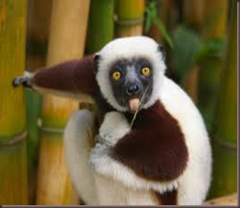 Amazing Pictures of Animals photo Nature exotic funny incredibel Zoo Lemur. Alex (2)