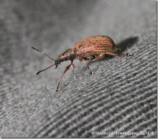 15-weevil