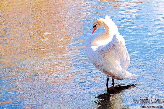 bird_20110328_swan11