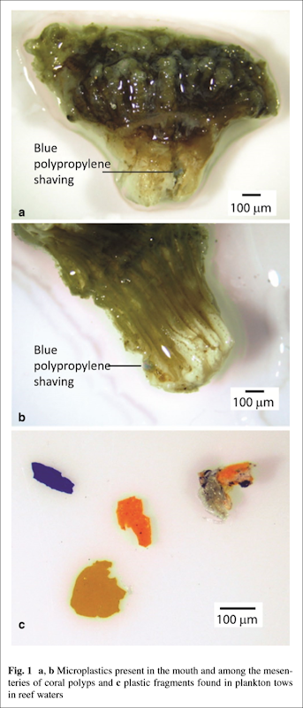 a, b Microplastics present in the mouth and among the mesenteries of coral polyps, and c plastic fragments found in plankton tows in reef waters. Graphic: Hall, et al., 2015