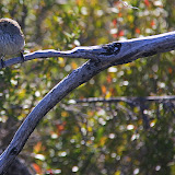 A Little Bird Enjoying The Warmth Of The Sun - Halls Gap, Australia