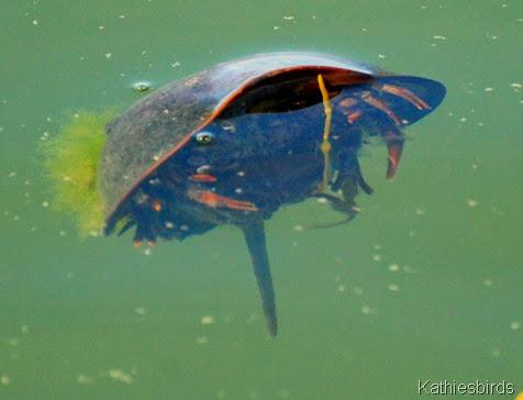 2. horseshoe crab-kab
