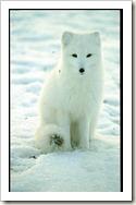 arctic_fox_snowy