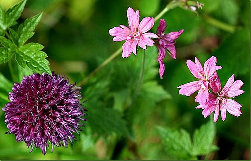 Geranium_ukjent_og_Allium_Sphaerocephalon-1