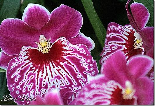 FPC_Orchids_Fuschia3