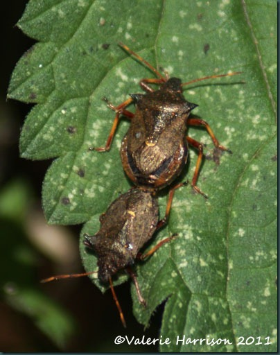 13-spiked-shieldbugs