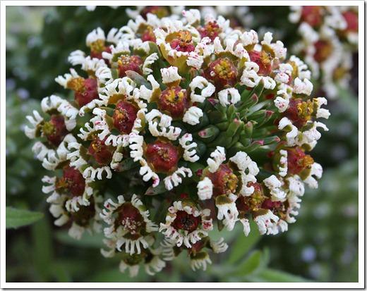 120414_RBG_Euphorbia-caput-medusae_03