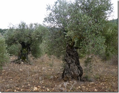 Horfesh-Olive Harvest