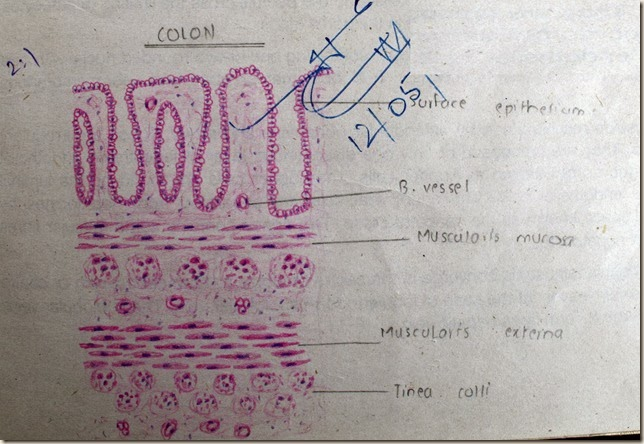 Colon high resolution histology diagram