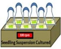suspension culture