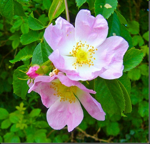 wild rose naturel