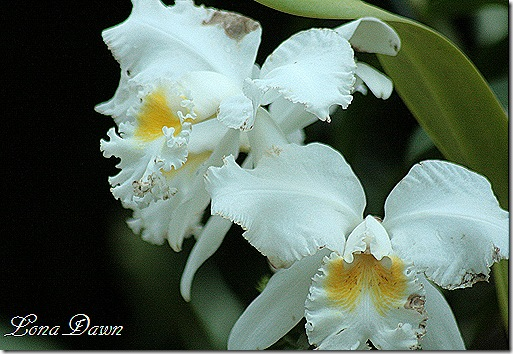 LG_Orchids2