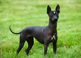 Amazing Pictures of Animals, Photo, Nature, Incredibel, Funny, Zoo, Dog, Mexican Hairless Dog, Xoloitzcuintle, Mammals, Alex (16)