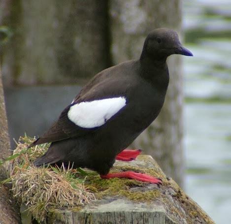 Amazing Pictures of Animals, Photo, Nature, Incredibel, Funny, Zoo, Guillemots, seabird, Bird, Alex (19)