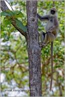 _P6A2101_grey_langur_monkey_mudumalai_bandipur_sanctuary